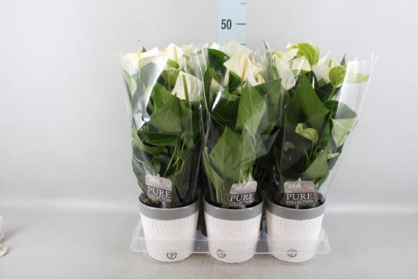 <h4>Anthurium andr. 'Elido'</h4>
