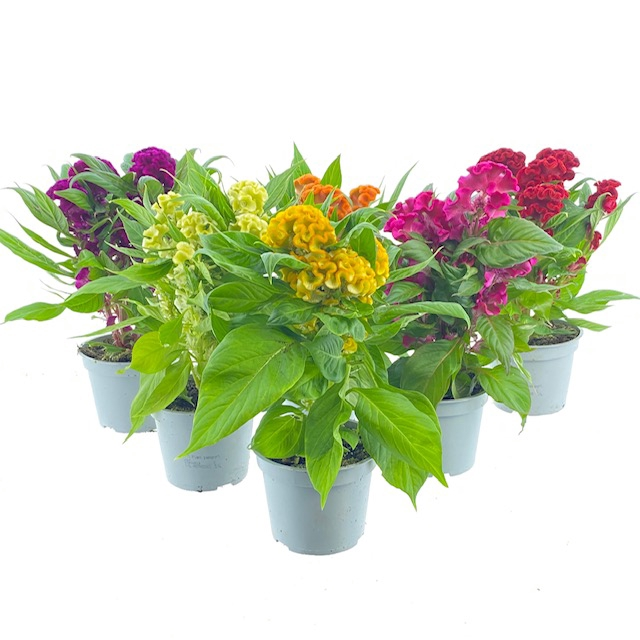 <h4>Celosia Twisted mix</h4>