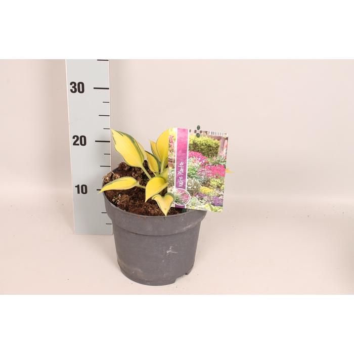 <h4>vaste planten 19 cm  Hosta June</h4>
