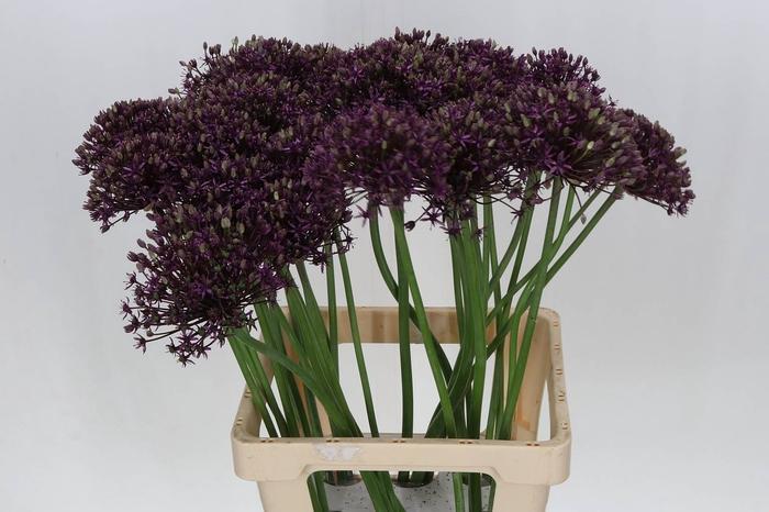 <h4>Allium Miami</h4>