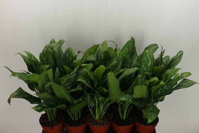 <h4>Aglaonema Green Lady</h4>