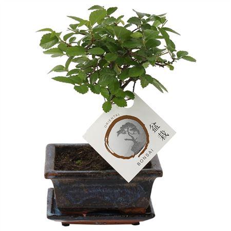 <h4>Bonsai A1121001ze Zelkova Parvifolia Keramiek</h4>