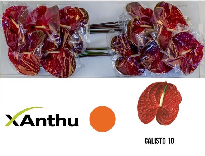 <h4>ANTH A CALISTO</h4>