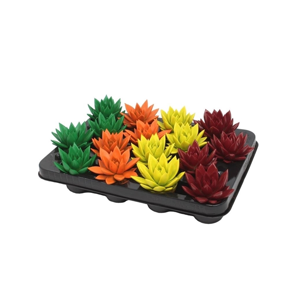 <h4>Echeveria coloured autumn mix</h4>