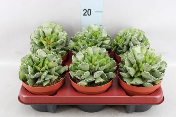 <h4>Adromischus cristatus</h4>