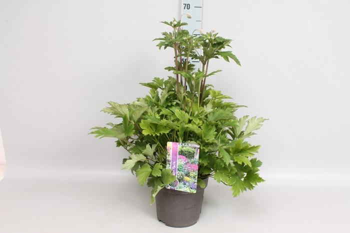<h4>vaste planten 19 cm  Anemone Ruffles Swan</h4>