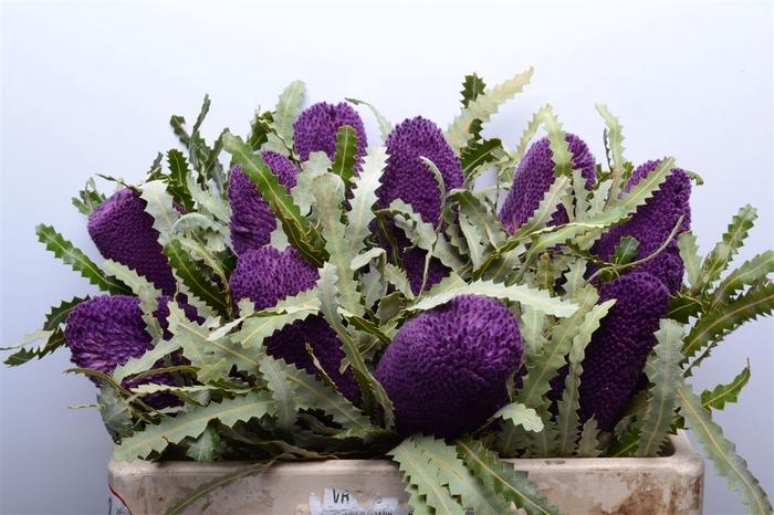 <h4>Banksia Prionotis Purple</h4>