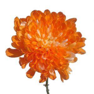 Chrysanthemum monoflor zembla naranja