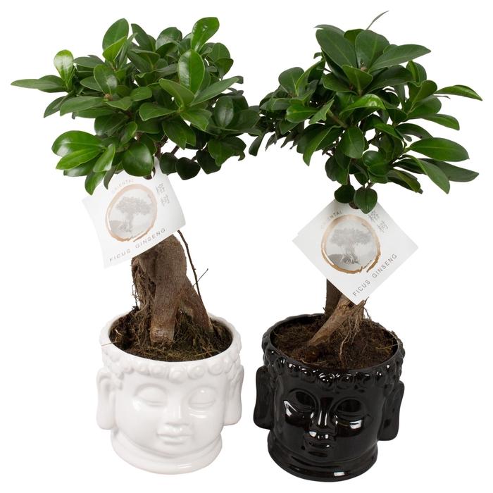 <h4>Ficus microcarpa 'Ginseng'</h4>
