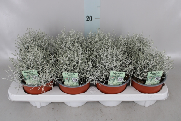 <h4>Calocephalus brownii 'Whimsy Silve'</h4>