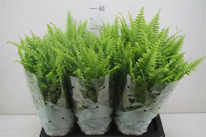 <h4>Nephrolepis Green Moment</h4>