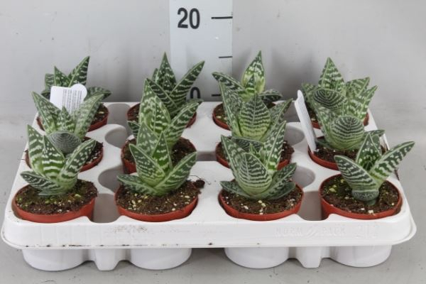 <h4>Aloe variegata</h4>