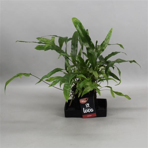 <h4>Lova Microsorum Diversifolium</h4>