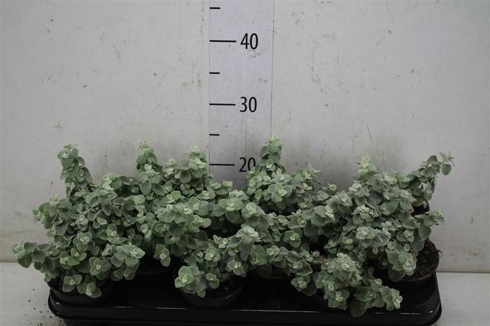 <h4>Helichrysum Petiolare</h4>