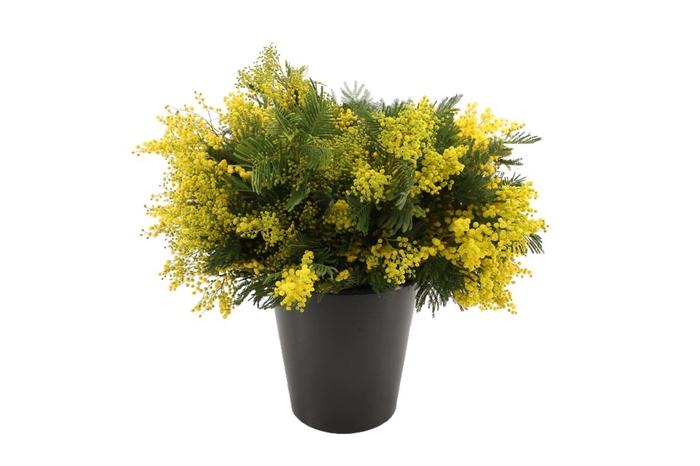 <h4>Mimosa Mirandol</h4>