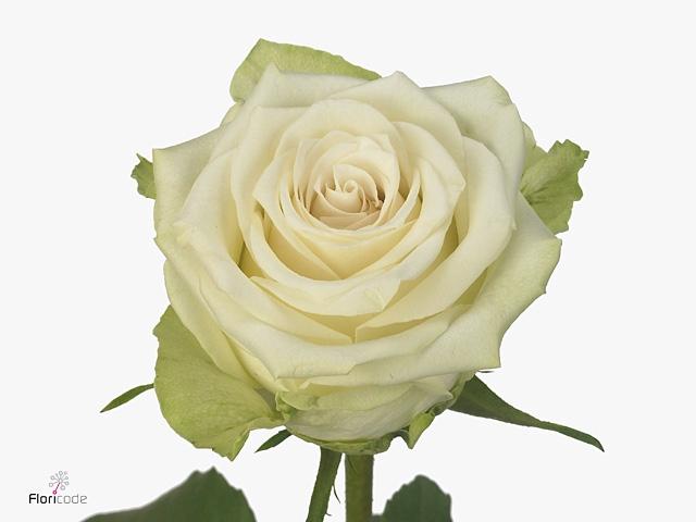 Rosa large flowered Avalonia
