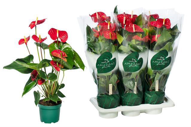 <h4>Anthurium Madural 17Ø 75cm 6+ kwiatów</h4>