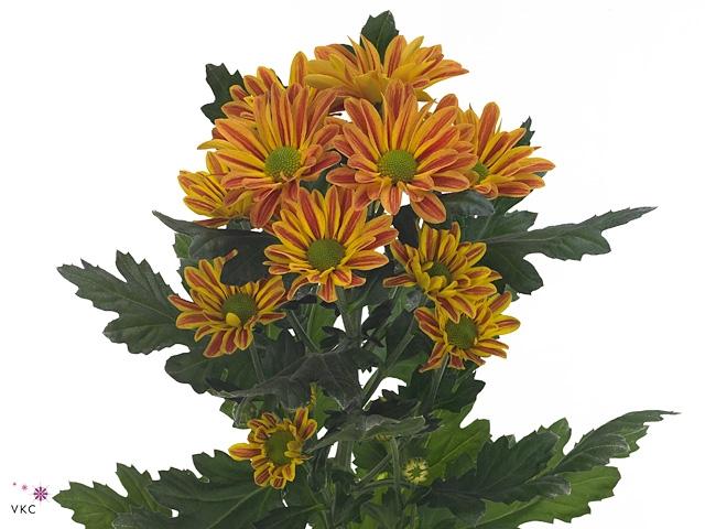 Chrysanthemum spray jordi