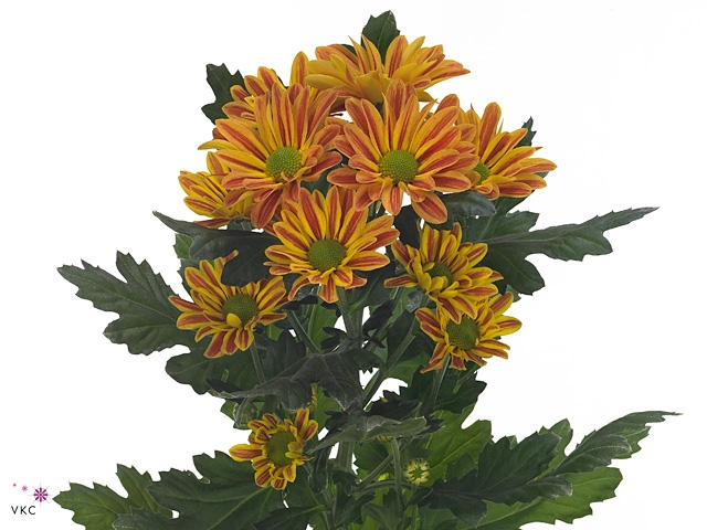 <h4>Chrysanthemum spray jordi</h4>