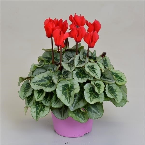 <h4>Cyclamen SS Picasso Rood</h4>