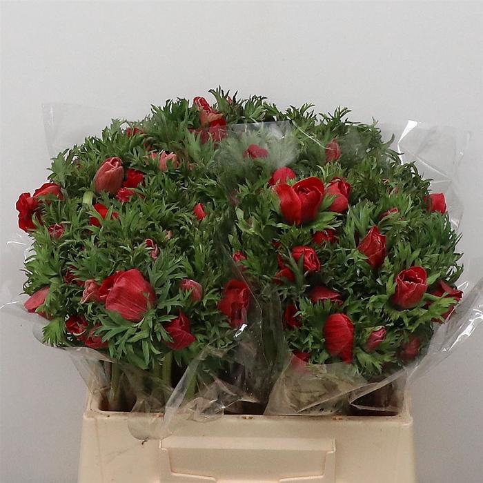 <h4>Anem Co Mar Red</h4>