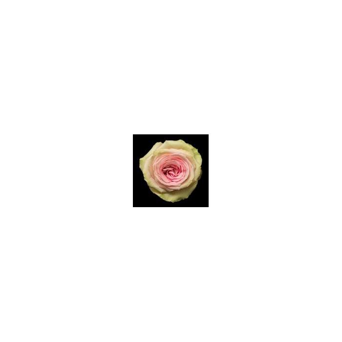 <h4>Rosa Gr. DFR116</h4>