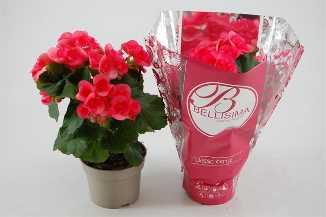 <h4>Begonia Elat. Netja</h4>