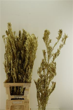 <h4>Droog Podocarpus Goud</h4>