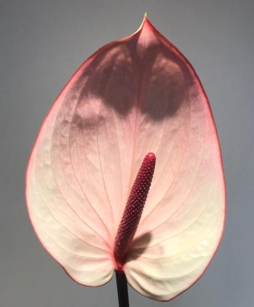 <h4>Anthurium Facetto White Var Large</h4>