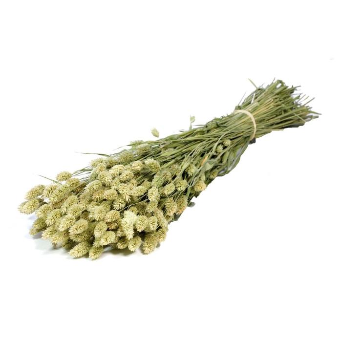 <h4>DRIED FLOWERS - PHALARIS NATURAL GREEN</h4>