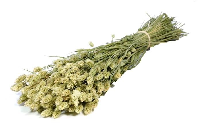 <h4>Phalaris green natural</h4>