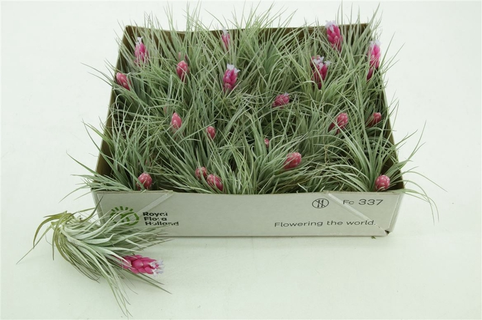 <h4>Tillandsia Cotton Candy Purple Single</h4>