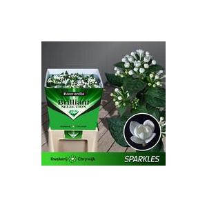 Bouvardia Du Sparkles
