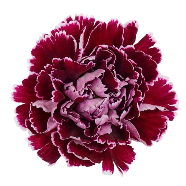 <h4>Dianthus st. Minerva</h4>