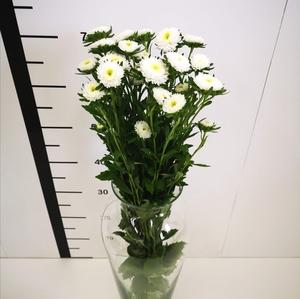 Callistephus blanco