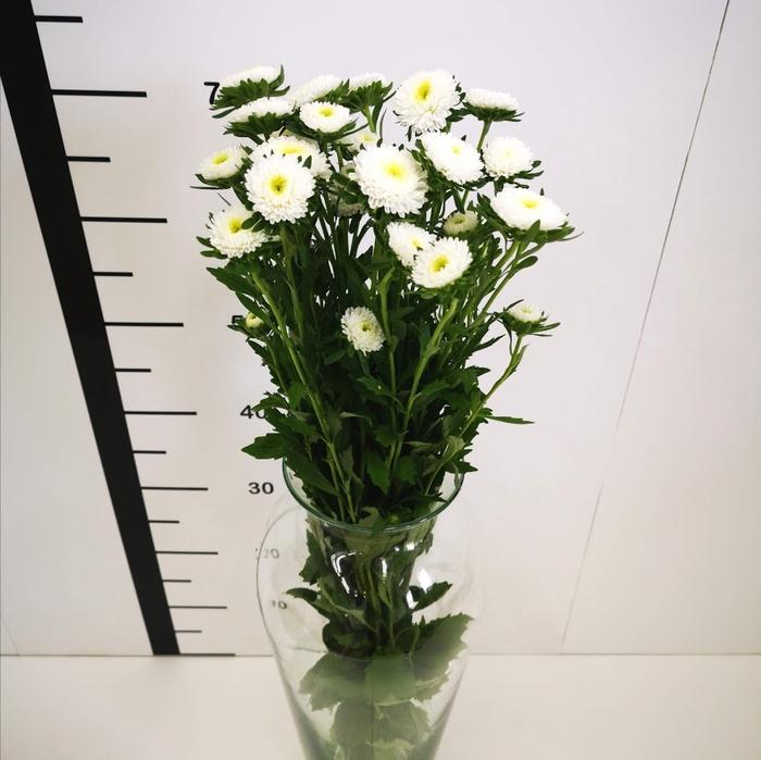 <h4>Callistephus blanco</h4>