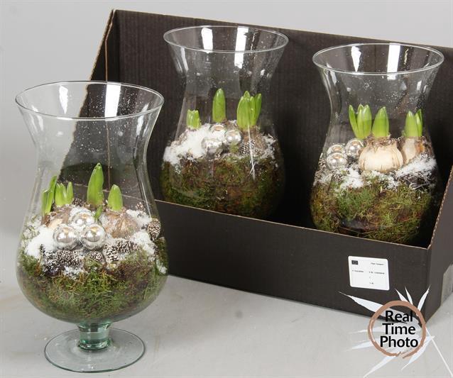 <h4>Arr Hyacinth</h4>
