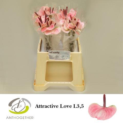 <h4>Anthurium andr. 'Attractive Love'</h4>