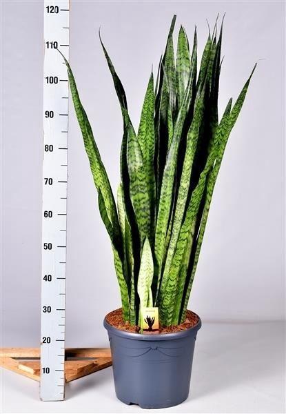 <h4>Sansevieria zeylanica</h4>