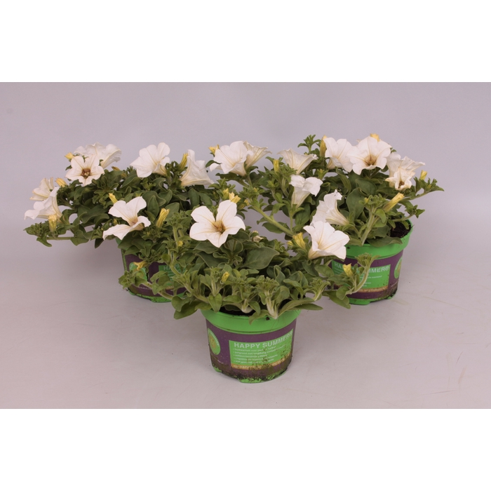 <h4>Petunia Surfinia White</h4>