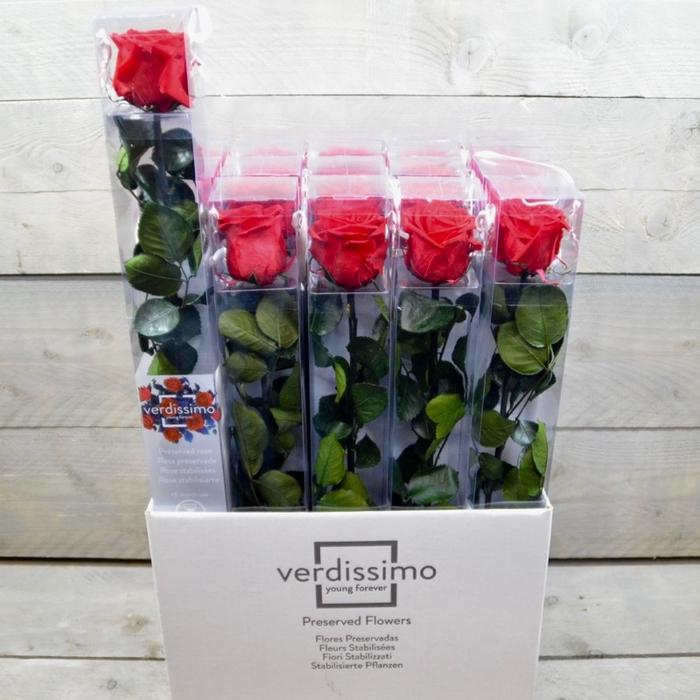 <h4>R PR Amorosa Tallo Red</h4>