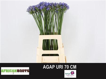 <h4>Agap Uri</h4>