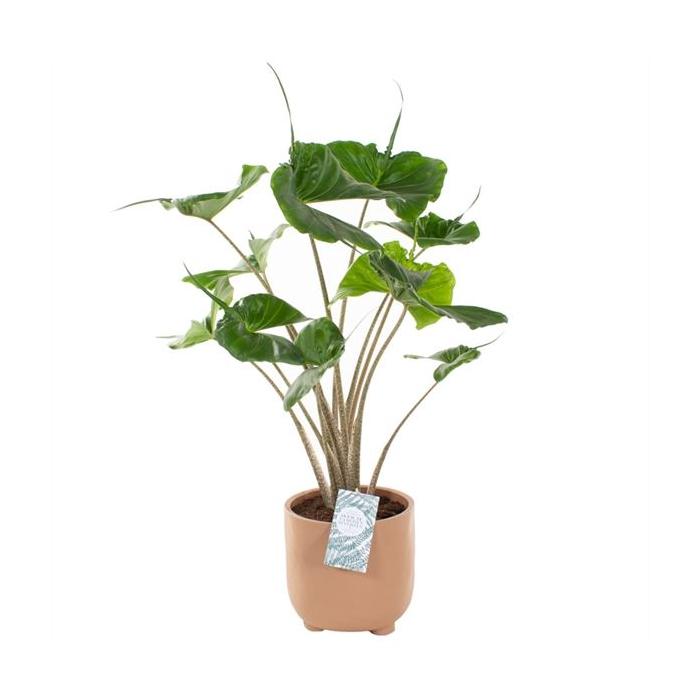 <h4>Arr.   Planten H%</h4>