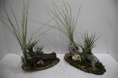 <h4>Tillandsia Plateau small</h4>