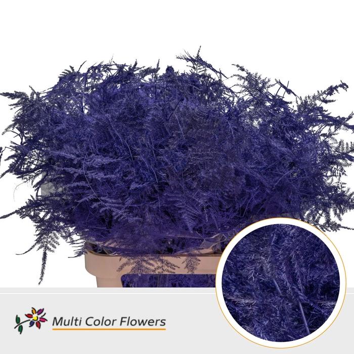 <h4>Asparagus lang Violet donker</h4>