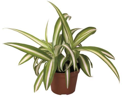 <h4>Chlorophytum Variegata 6Ø 15cm</h4>