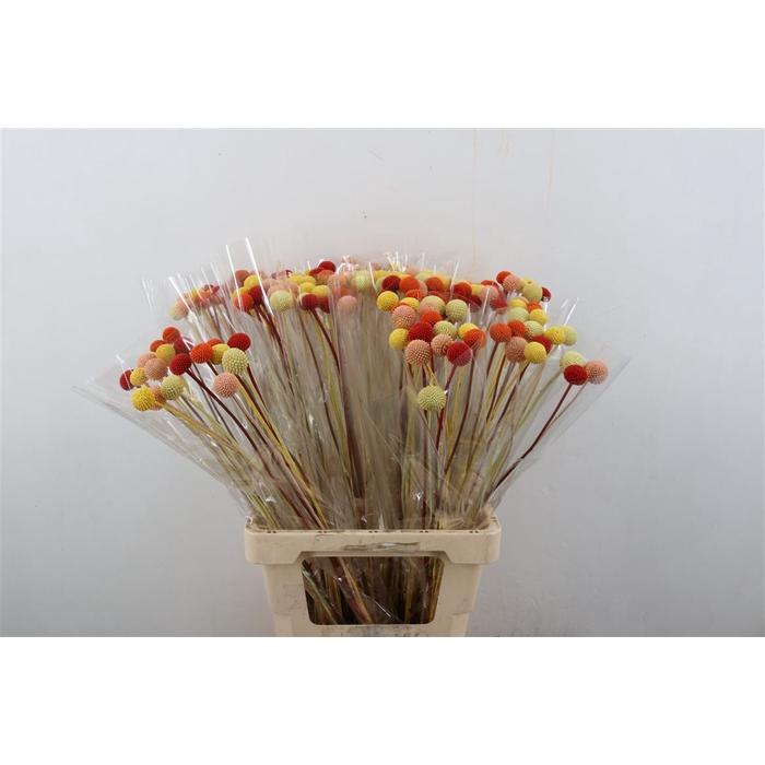 <h4>DRIED FLOWERS  - CRASPEDIA SUMMER MIX 10pcs</h4>