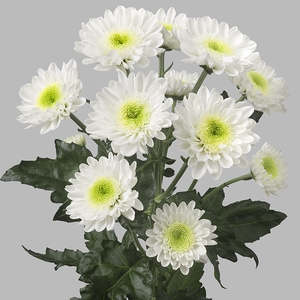 Chrysanthemum spray amira