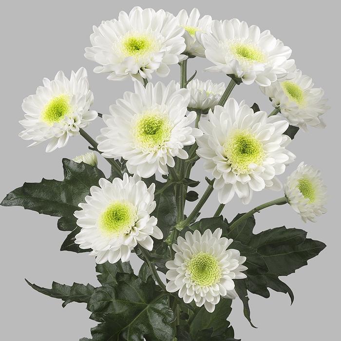 Chrysanthemum spray amira