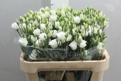 <h4>Lisianthus Rosita White</h4>